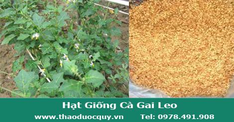 hat_giong_cay_ca_gai_leo